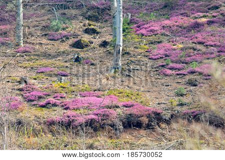 Early spring in rare beech forest with blooming heather bushes