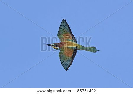 European bee-eater in flight with blue skies in the background