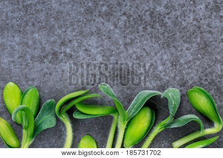 Green pumpkin sprouts on a gray background