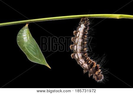 Common Duffer (discophora Sondaica) Pupa And Caterpillar
