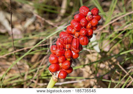 Arum maculatum woodland plant species of the Araceae family. Poisonous plant. Kozlac