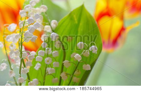 Lily of the valley (convallaria majalis) in garden