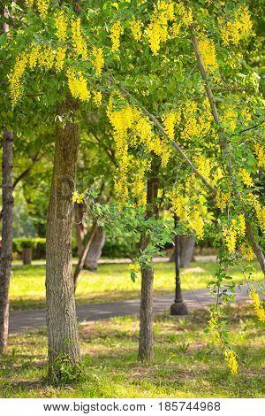Yellow Golden shower Cassia fistula flower