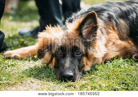 Beautiful Tired Small Young Black German Shepherd Puppy Dog Resting In Green Grass Near Owner. Alsatian Wolf Dog Or German Shepherd Dog Outdoor. Deutscher Dog.
