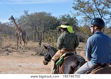 South Africa- July 5 th 2016: picture of a guide and tourist on a horse safari with a giraffe in front of them.