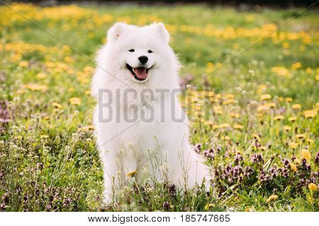 Young Happy Smiling White Samoyed Dog Or Bjelkier, Smiley, Sammy Sitting Outdoor In Green Spring Meadow With Yellow Flowers. Playful Pet Outdoors.