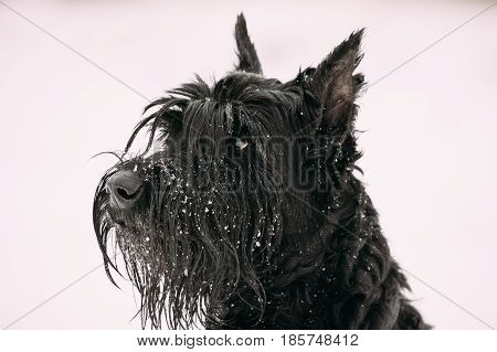 Close Up Portrait Of  Young Black Giant Schnauzer Or Riesenschnauzer Dog At White Winter Snow Background
