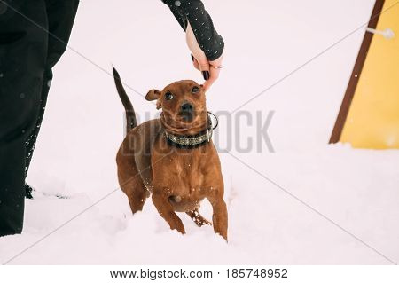 Funny Dog Red Brown Miniature Pinscher Pincher Min Pin Zwergpinscher Running In Snow During Agility Dog Training At Winter Season.