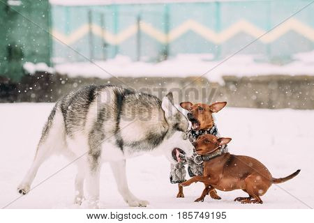 Funny Dogs Play Together. Funny Dog Red Brown Miniature Pinschers Pincher Min Pin And Husky Playing Outdoor In Snow, Winter Season. Playful Pet Outdoors.