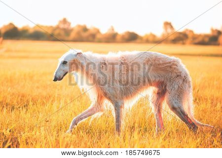 Wet White Russian Dog, Borzoi Walking Running In Summer Sunset Sunrise Meadow Or Field. Faded Instant Film Effect