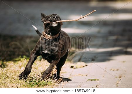 Funny Black Small Size Mixed Breed Puppy Dog Playing Outdoor With Wooden Stick In Park At Sunny Summer Day