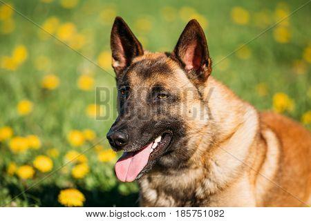 Close Up Of Malinois Dog. Belgian Shepherd Dog Resting In Green Grass