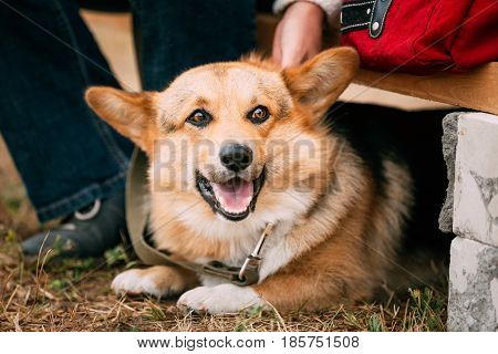 Close up portrait of young Happy Welsh Corgi dog in dry grass outdoor. The Welsh corgi is a small type of herding dog that originated in Wales