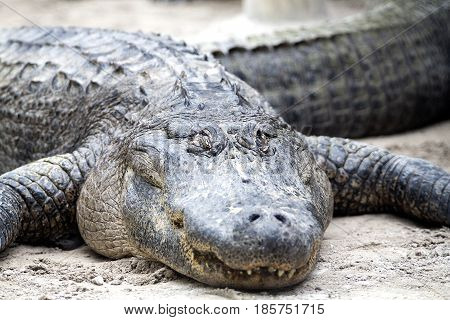 An American Alligator (Alligator Mississippiensis) in the Everglades National Park