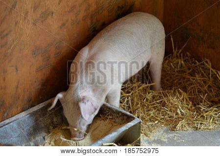 A hungry young piglet at the farm