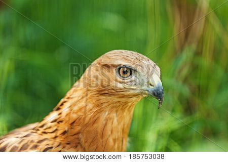 Close-Up of the Face of a Peregrine Falcon (Falco peregrinus)