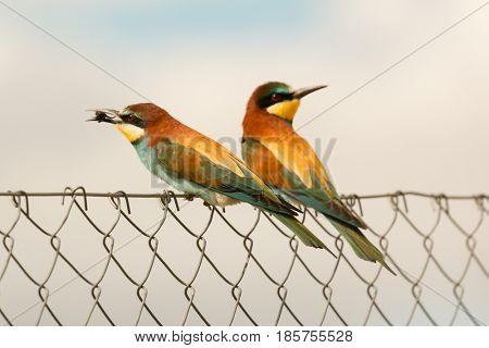 Couple of bee-eaters on a metallic fence