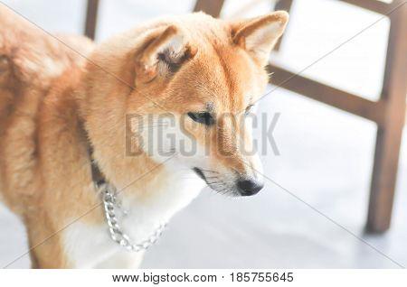 shiba or shiba inu dog (Japanese dog)