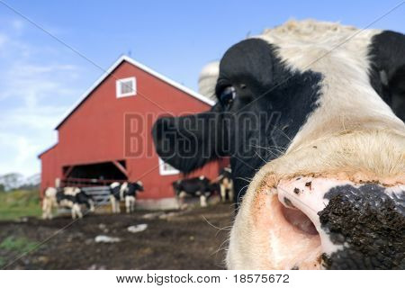A Holstein Friesian bull on a dairy farm in North America, with a keen interest in being photographed. (Shot with minimal depth of field. Focus is just behind the front of the bull's nose.)