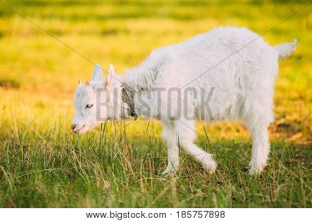 Kid Goat Grazes On Green Summer Grass On A Sunny Day. Goat Eating A Grass On A Green Meadow. Farm Baby Animals