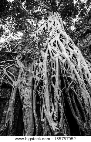 Tree roots in Cambodia's Siem Reap national park
