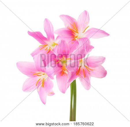 Five pink lilies isolated on a white background. Rosy Rain lily