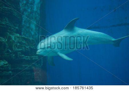 Common Bottlenose Dolphin - Tursiops Truncatus