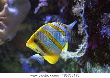 The Copperband Butterflyfish (Chelmon Rostratus) in a marine acquarium