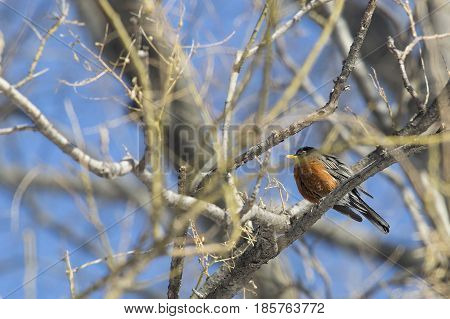 European Robin (Erithacus Rubecula) perched on a tree in Central Park, New York
