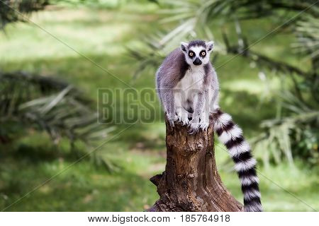 Lemur from ring tail sitting on the trunk of a tree in the forest. Big eyes with vibrant color and classic long-sleeved white-black rings.