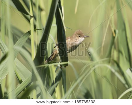 Clamorous Reed Warbler Perched On Reeds