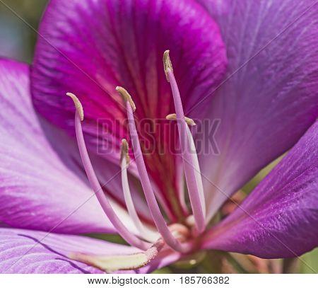 Closeup Of A Purple Geranium Flower In Ornamental Garden