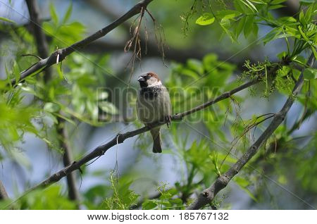 Sparrow Sparrow Bird Nature Sparrow on a branch Spring Birds of Russia Small birds