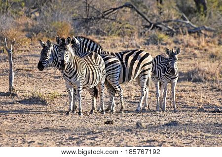 Picture of a group of Burchell's zebras in Madikwe game reserve, South Africa.