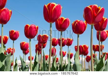 Tulip. Beautiful bouquet of tulips. colorful tulips. tulips in spring, colorful tulip