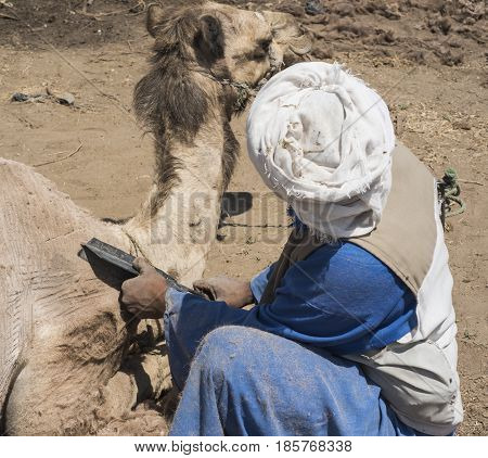 Traditional African Bedouin Man Shearing A Domesitcated Camel