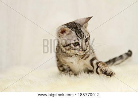 Playful begal cat kitten on a lamb skin