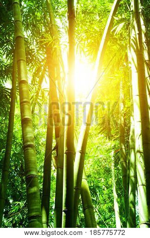 Asian bamboo forest with beautiful morning sun flare.