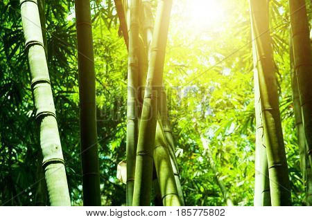 Asian bamboo forest view with golden morning sun flare.