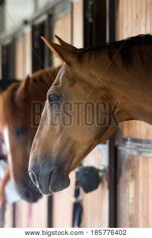 Horse (Equus Ferus Caballus) in his stable