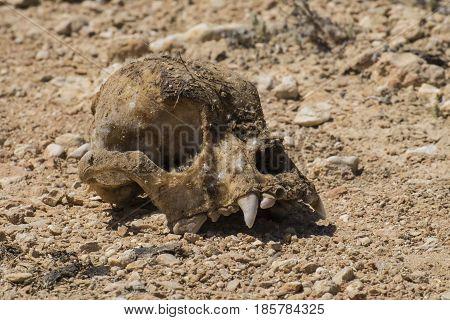 The skull of a strange animal is found in the desert