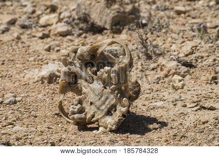 The skull of a strange animal is found in the desert 2
