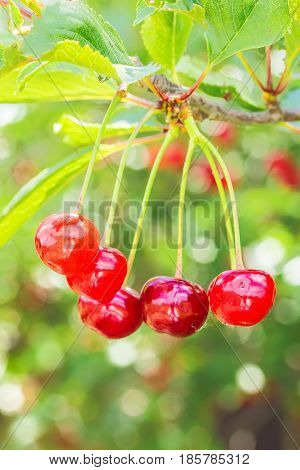 Red cherries on a branch with green leaves on blurred background backlit. Selective focus