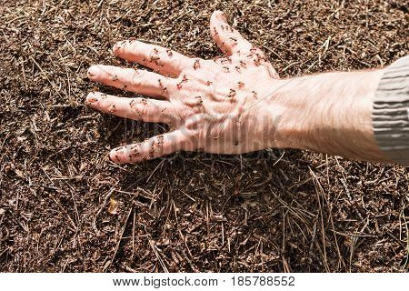 Men hand lies in the anthill and ants running around on it