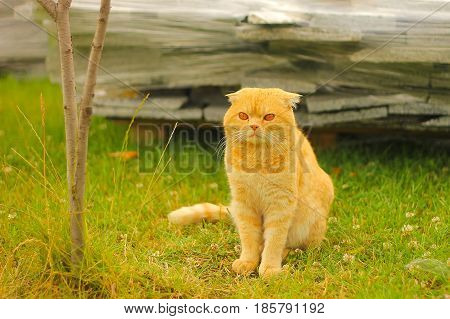 red eye cat with folded ears on green background.
