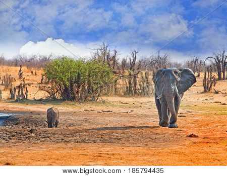 A Large bull elephant walking with a buffalo drinking from a waterhole in the background, Hwange National Park, Zimbabwe