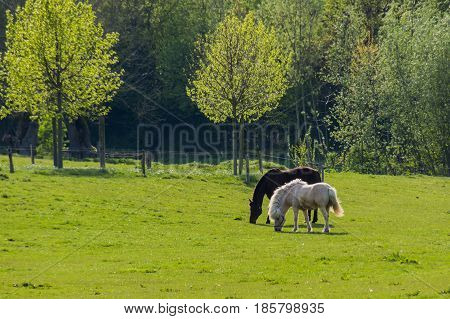 Black and brown horses walking over grassland in front of trees