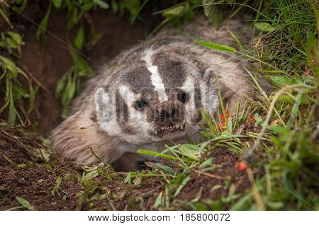 North American Badger (Taxidea taxus) Bares Teeth From Within Den - captive animal poster