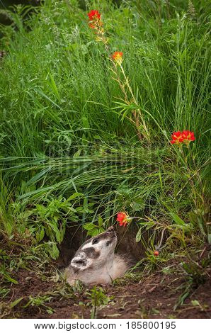 North American Badger (Taxidea taxus) Sniffs at Flower - captive animal poster