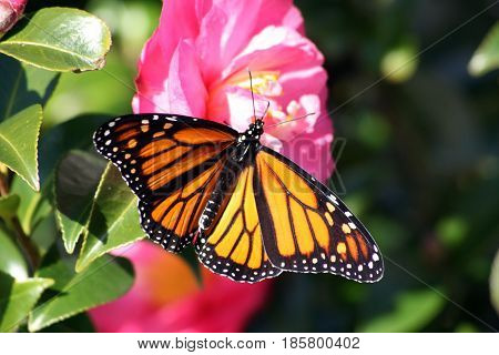 Stunning wingspan of a Monarch butterfly on pink Camellia flower